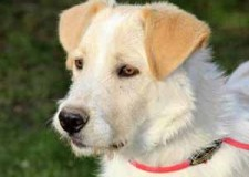 Italia. Roma. Adozione cani. Adele è una splendida cucciola che rischia la deportazione in un enorme canile.