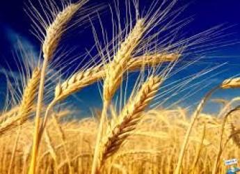 Ravenna. Prezzo del grano in picchiata. Le cooperative in difficoltà.