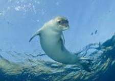 Salento. Avvista una foca monaca. Evento inaspettato, in realtà previsto circa cinque anni fa.