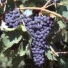 Forlivese. Slow Food presente alla tre giorni del Sangiovese. L'uno, il due e il tre settembre a Predappio.
