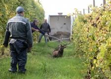 Fusignano. Soccorso e salvato a Monte Maiano un grosso esemplare ferito di cervo adulto.