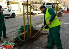 Romagna. 13 nuovi alberi a Misano e 4 a Cattolica. Nei due Comuni, delle 'eleganti' Melie azedarach.