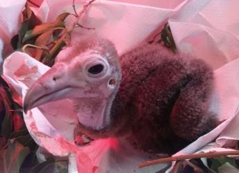 Riccione. E' primavera nei parchi della Costa. A Oltremare è nato un avvoltoio (ancora) senza nome.