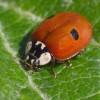 Solarolo. Comune: lotta bilogica con insetti utili. Coccinelle e Anthocoris contro i parassiti delle piante.