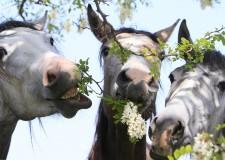 Forlì. Da venerdì, al  'Forlì International Horse Fair',  la nuova manifestazione dedicata ai cavalli.