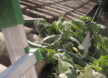 San Mauro Pascoli. Cetrioli arrampicanti. Capaci di  arrivare sul tetto della casa di proprietà.