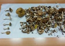 Riminese. Funghi spontanei: da lunedì 24, aperti gli sportelli micologici. Tanti consigli utili.