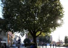 Rimini. Il platano di piazza Malatesta: un albero da tutelare trasformandolo in 'monumento'.