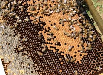 Cesena. Approvato il progetto europeo 'BeePathNet',  per lo sviluppo dell'apicoltura urbana.