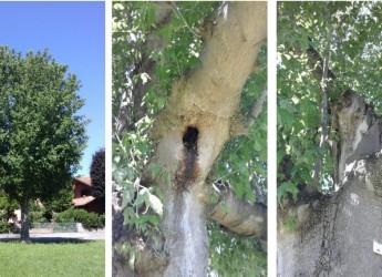 Cesena. Da abbattere sono 80 alberi. Compensabili. Bilancio arboreo attivo nell'ultimo quinquennio.