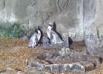 Cattolica. L'Acquario festeggia i 20 anni con una sorpresa. Arriva ' Pic Nick', un cucciolo di pinguino.