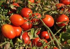 Piacenza. Lotta al ragnetto rosso, l'acaro che minaccia il pomodoro da industria.I primi risultati del Goi.