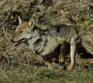 Ravennate. Segnalato un lupo nella parte di Parco del Delta che si estende a sud di Ravenna.