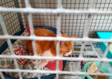 Faenza. Muore il padrone, ma Enpa interviene  e salva sei gatti chiusi per un mese in appartamento.