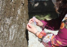 Cesena. Al 'parco' della Polizia locale bombardamento di coccinelle contro gli afidi. Per la salute dei tigli.