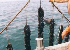 Marina di Ravenna. ( 25 /27 giugno) in 60 ristoranti l' VIII edizione della Festa della cozza selvaggia.
