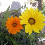 fiori, ambiente