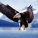Eagle wallpaper[1]